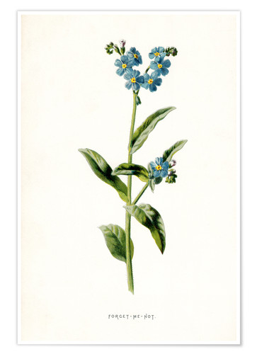 Póster Premium Forget-Me-Not