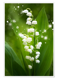 Póster Premium  Lily of the valley - Steffen Gierok