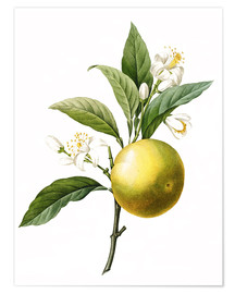 Póster Premium  Orange Tree - Pierre Joseph Redouté