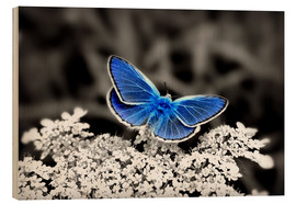 Quadro de madeira  Blue butterfly on black colorkey II - Julia Delgado