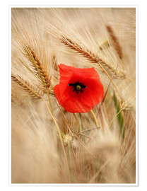 Póster Premium  Red poppy in wheat field 2 - Falko Follert