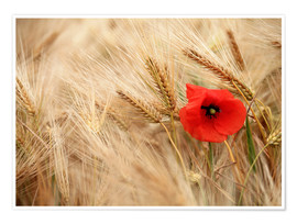 Póster Premium  Red poppy in wheat field - Falko Follert