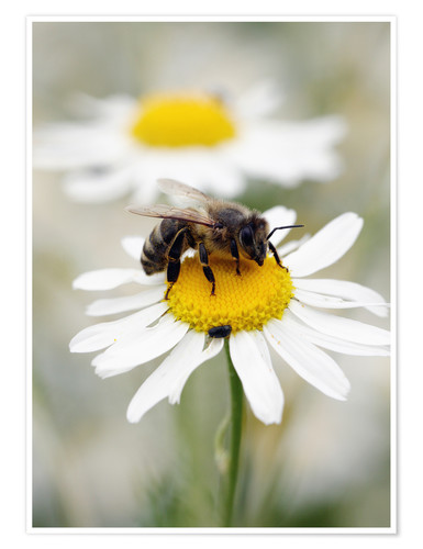 Póster Premium Bee on the camomile lawn