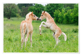 Póster Premium  Haflinger foals playing and rearing - Katho Menden