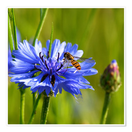 Póster Premium Cornflower with hoverfly