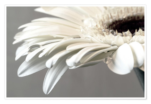 Póster Premium White Gerbera with drops