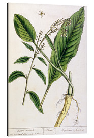 Quadro em alumínio  Horseradish, plate 415 from 'A Curious Herbal', published 1782 - Elizabeth Blackwell