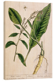 Quadro de madeira  Horseradish, plate 415 from 'A Curious Herbal', published 1782 - Elizabeth Blackwell