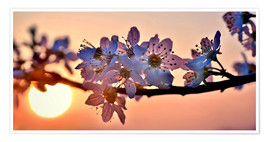 Póster Premium  Cherry blossoms against evening under the setting sun - Julia Delgado