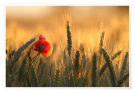 Póster Premium  poppy in the morning light - Uwe Fuchs