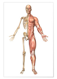 Póster Premium  The human skeleton and muscular system, front view