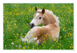 Póster Premium Haflinger horse, a cute foal resting in a flowering meadow