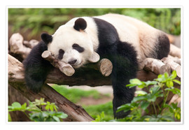 Póster Premium  Giant panda sleeping - Jan Christopher Becke