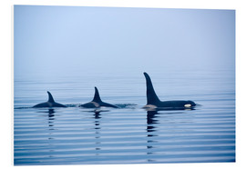 Quadro em PVC  Three Killer whales with huge dorsal fins - Jürgen Ritterbach