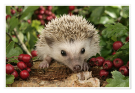 Póster Premium  Hedgehog with berries - Greg Cuddiford