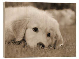 Quadro de madeira  Golden Retriever cute puppy, monochrom - Katho Menden