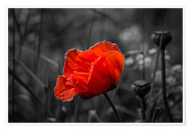 Póster Premium Red poppy on black and white background