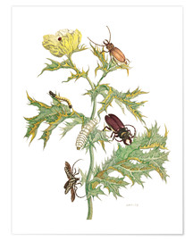 Póster Premium  Mexican Prickly Poppy and longhorn beetles - Maria Sibylla Merian