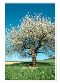 Póster Premium Blossoming cherry tree in spring on green field with blue sky