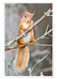 Póster Premium Red squirrel on a branch