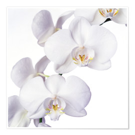 Póster Premium  Orchid flowers - Johnny Greig