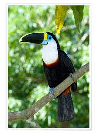 Póster Premium  White-throated toucan - Tony Camacho
