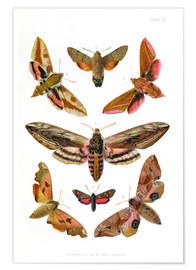 Póster Premium  British moths