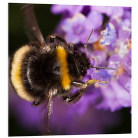 Quadro em PVC  Bumble bee collecting pollen - Power and Syred