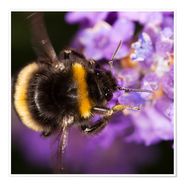 Póster Premium  Bumble bee collecting pollen - Power and Syred