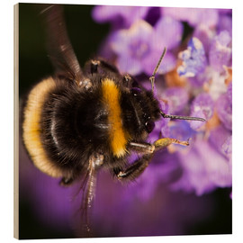 Quadro de madeira  Bumble bee collecting pollen - Power and Syred