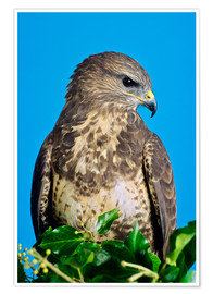 Póster Premium  Common buzzard - David Aubrey