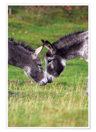 Póster Premium  Donkeys touching noses - Duncan Shaw