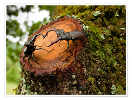 Póster Premium  Greater Stag Beetles - Bob Gibbons