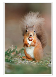 Póster Premium  Red squirrel eating a hazel nut - Duncan Shaw