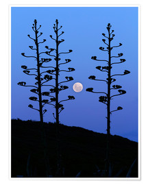 Póster Premium  Full Moon and agave trees - Luis Argerich