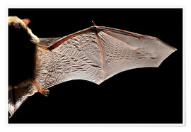 Póster Premium  Common pipistrelle bat wing - Alex Hyde