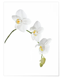 Póster Premium  Orchid flowers (family Orchidaceae) - GAVIN KINGCOME