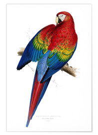 Póster Premium  Red & Yellow Macaw - Edward Lear