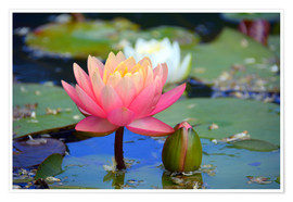 Póster Premium water lily