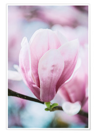 Póster Premium  Closeup of blossoming magnolia in spring - Peter Wey