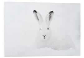 Quadro em PVC  Mountain hare in winter - Peter Wey