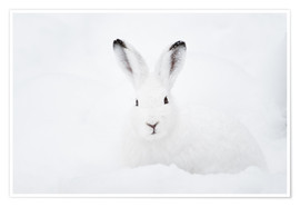 Póster Premium  Mountain hare in winter - Peter Wey