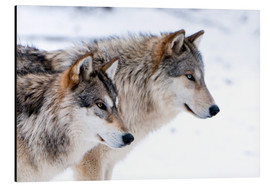 Quadro em alumínio  Two Wolves in the snow - Louise Murray
