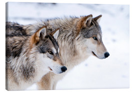 Quadro em tela  Two Wolves in the snow - Louise Murray