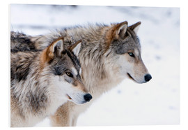 Quadro em PVC  Two Wolves in the snow - Louise Murray