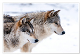 Póster Premium  Two Wolves in the snow - Louise Murray