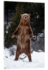 Quadro em acrílico  Grizzly Bear standing in the snow - James Hager