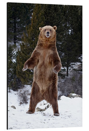 Quadro em alumínio  Grizzly Bear standing in the snow - James Hager