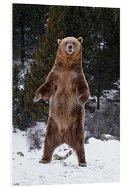 Quadro em PVC  Grizzly Bear standing in the snow - James Hager