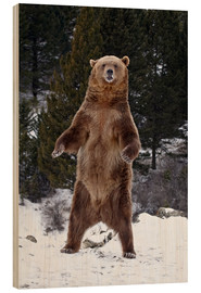 Quadro de madeira  Grizzly Bear standing in the snow - James Hager